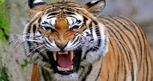 कोरिया : एसडीएम के सामने आया बाघ, वीडियो में देखे आगे क्या हुआ